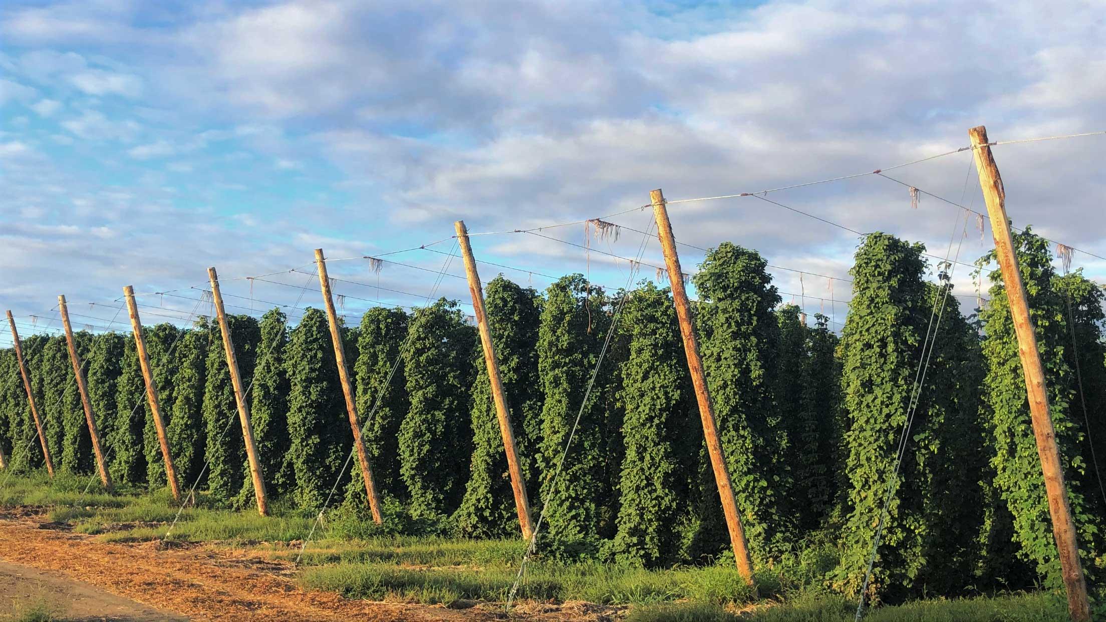 City of Moxee hop fields